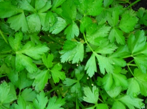 Italian-parsley